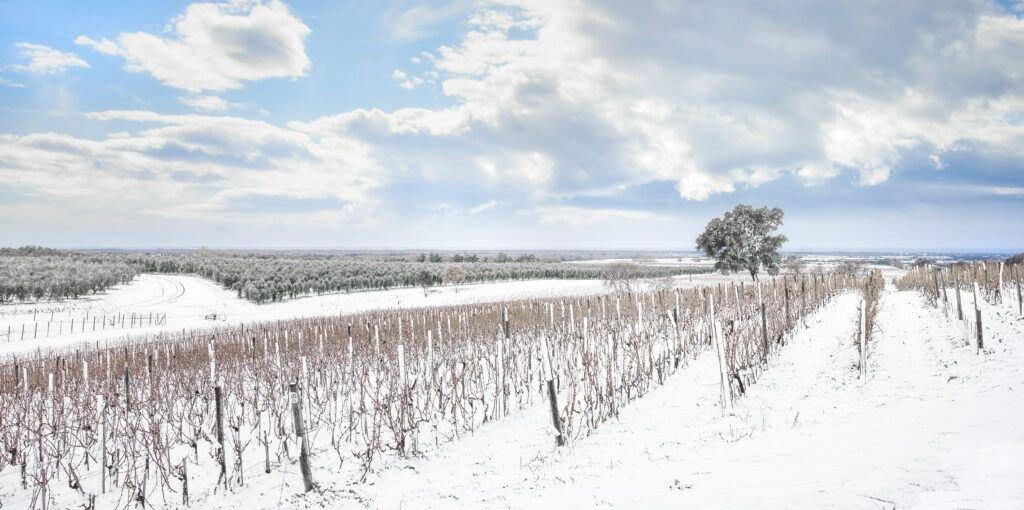 La Nieve: el precioso manto blanco que envolvió a la viña bolgheri vineyards rows covered by snow in winter JWR7FWL
